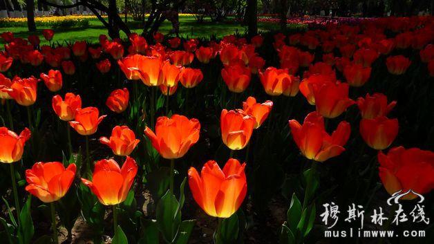 夏都西宁的郁金香花已经盛开