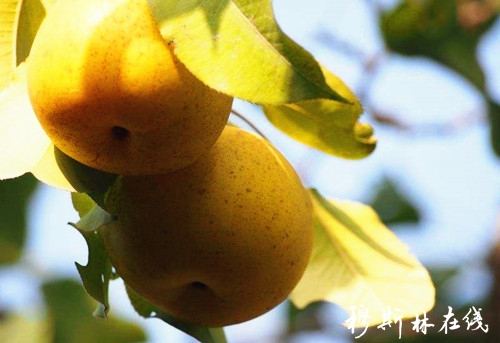 冬果梨 最接地气的西宁小吃